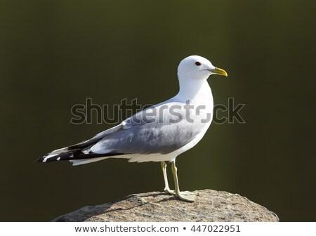 Seagull sitting on a rock. Stock photo © justinb