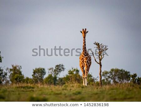 Zsiráf néz kamera park égbolt Afrika Stock fotó © simoneeman