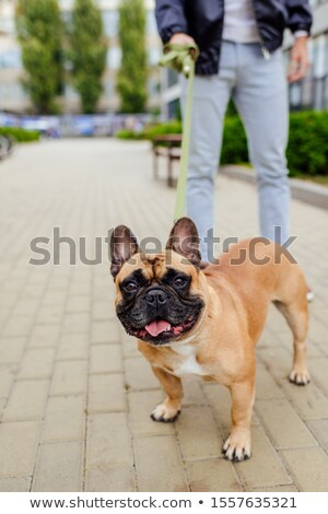 french bulldog with leash stock photo © oleksandro