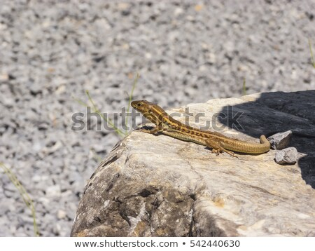 Lizards hiding on the ruins of Ancient Messini, Greece Stock photo © ankarb