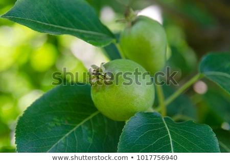 新鮮 綠色 梨子 一 整個 梨 商業照片 © Digifoodstock