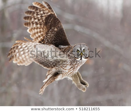 big nebulosa strix lapland owl Stock photo © compuinfoto