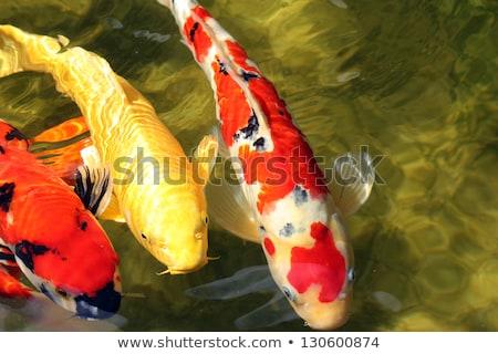 飢えた ニシキゴイ 庭園 池 自然 ストックフォト © franky242