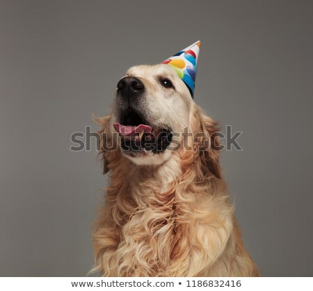 head of happy birthday golden retriver with tongue exposed Stock photo © feedough