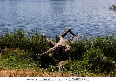 large brown toad on stump stock photo © taviphoto