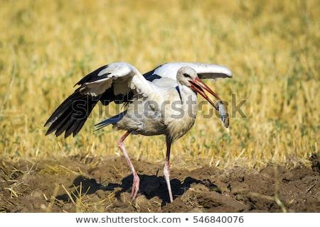 Branco cegonha caça água primavera grama Foto stock © lightpoet
