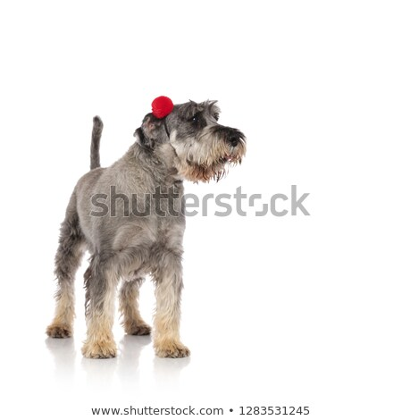 Peludo gris schnauzer rojo Foto stock © feedough