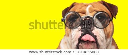 close up of funny english bulldog with tongue exposed Stock photo © feedough