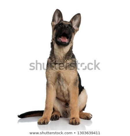 surprised german shepard wearing gold collar looks up Stock photo © feedough