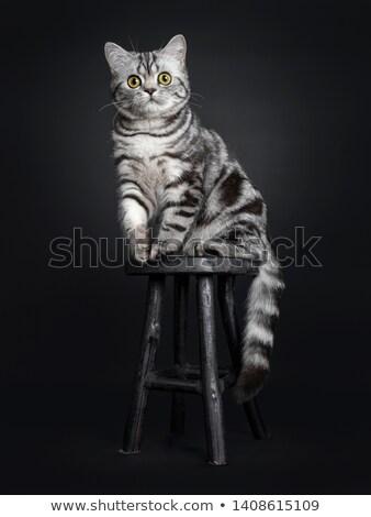 Cute мало британский короткошерстная котенка Председатель Сток-фото © dashapetrenko