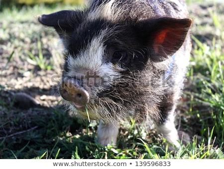 Funny Kune kune piglet on white Stock photo © CatchyImages