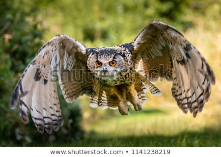 closeup of a eurasian eagle owl bubo bubo stock photo © lightpoet