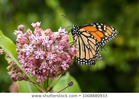 natural milkweed butterfly stock photo © ansonstock