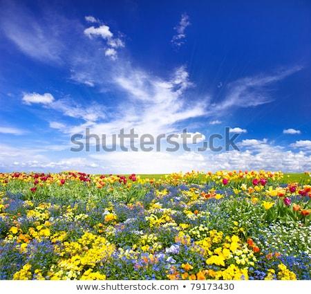 チューリップ 青空 紫色 黄色 コピースペース ストックフォト © Eireann