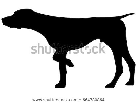 German short-haired pointer Stock photo © Novic