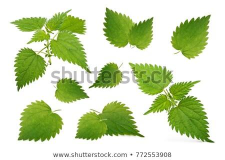 One branch of green nettle Stock photo © boroda