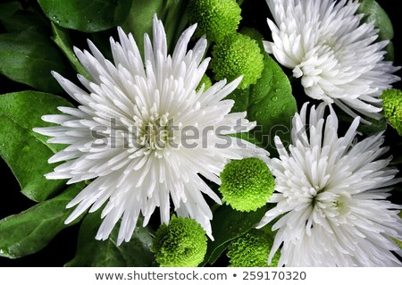 Three white Asters with drops of water Stock photo © fisfra