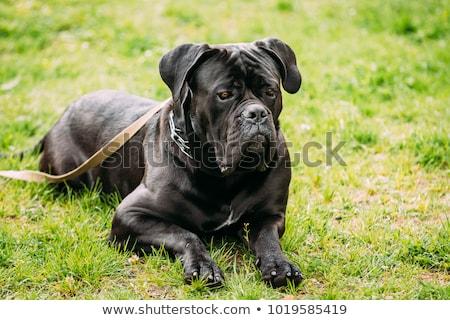 cane corso purebred dog stock photo © kokimk
