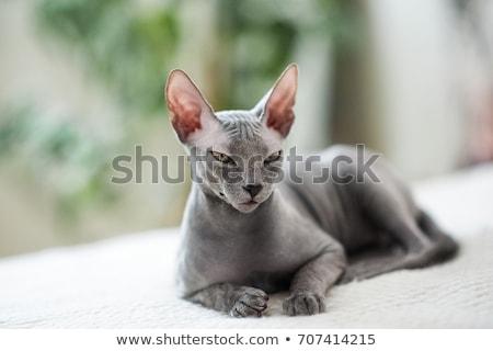 Sin pelo gato triste sesión toalla Foto stock © PetrMalyshev