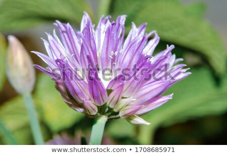 chive blossoms in the garden allium schoenoprasum stock photo © klsbear
