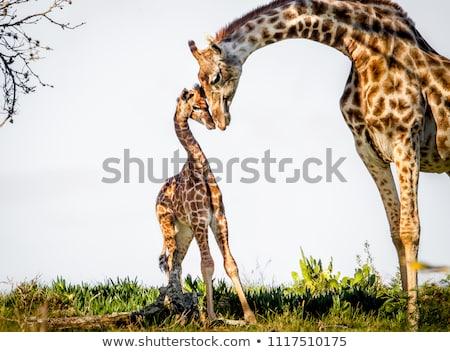 молодые · жираф · матери · ребенка · глядя · два - Сток-фото © macropixel