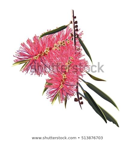Australian native flower red callistemon Stock photo © sherjaca