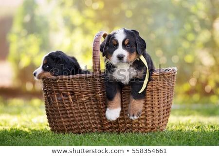 Szczeniak berneński pies pasterski godny podziwu trawy baby tle Zdjęcia stock © grivet