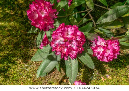 pink rhododendron ( azalea ) Stock photo © taviphoto