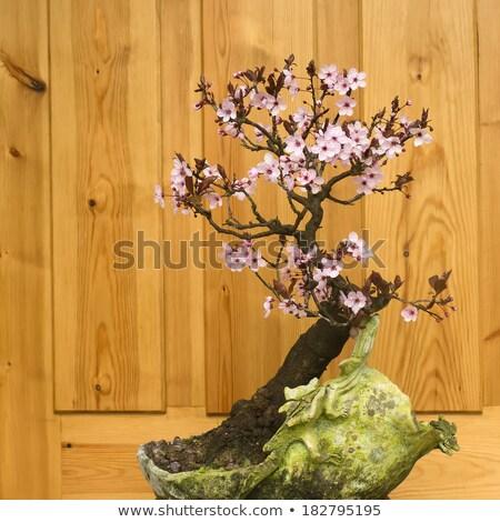 Японский слива Blossom бонсай лист саду Сток-фото © marimorena
