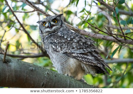 African Eagle Owl, selective focus Stock photo © michaklootwijk