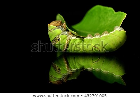 Moth on a Lemon Tree Stock photo © rhamm