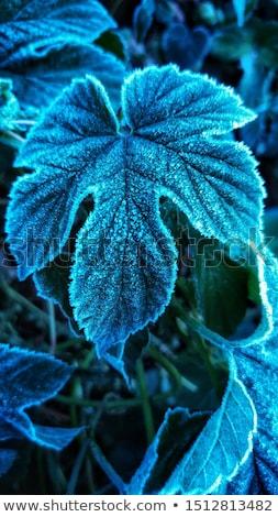 fagyott · levelek · eső · tél - stock fotó © icemanj