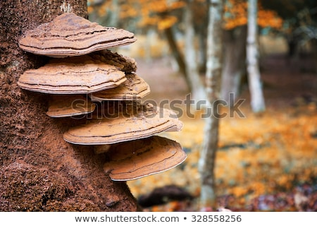 Shelf Fungus on the Tree Stock photo © Suljo