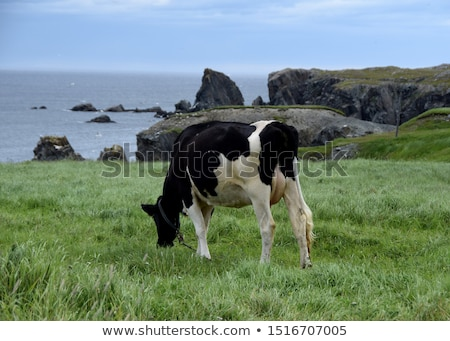 cow grazing at the meadow on the cliffs of the shoreline Stock photo © meinzahn