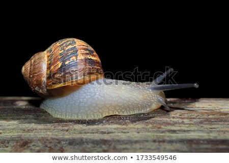 Closeup of a garden snail with tentacles extended Stock photo © sarahdoow