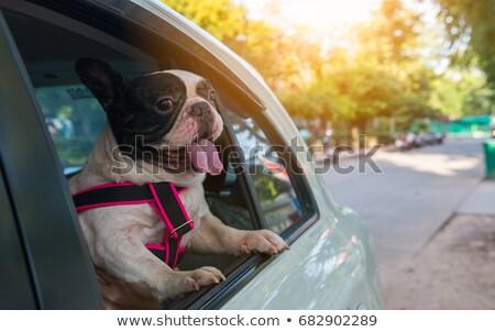 bulldog · néz · ki · autó · ablak · kép - stock fotó © gregory21
