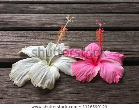 beyaz · ebegümeci · çiçekler · kar · tanesi · soyut - stok fotoğraf © Yongkiet