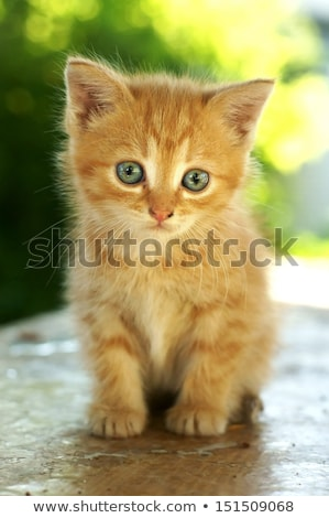 cat with blue eyes sitting on wooden table against green summer stock photo © meinzahn