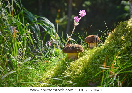 czech edible mushrooms Stock photo © jonnysek