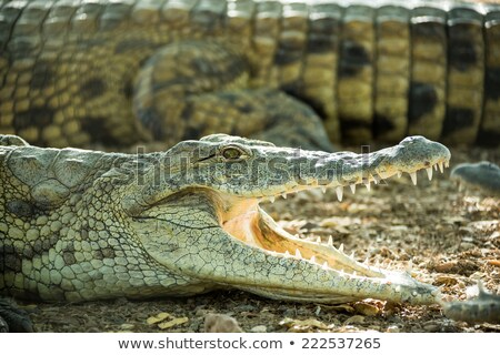 Młodych krokodyla brzegu otwarte usta wody Zdjęcia stock © OleksandrO