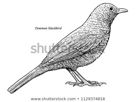 クロウタドリ バス 鳥 黒 ドイツ ストックフォト © dirkr