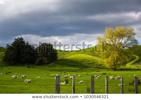 ewe sheep grazing on vibrant rolling summer grass stock photo © rekemp