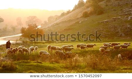 羊飼い 黒 シルエット 林間の空き地 色とりどりの 空 ストックフォト © Lom