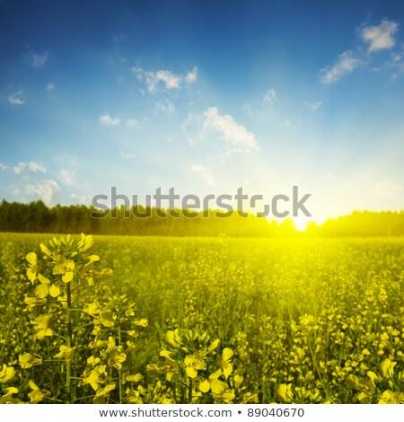dusk skies over farmland canola fields stock photo © lovleah