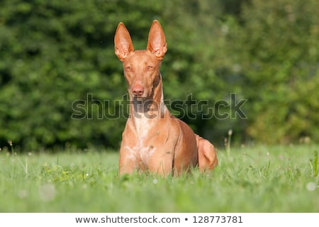 dog breed Pharaoh hound - summer portrait Stock photo © goroshnikova