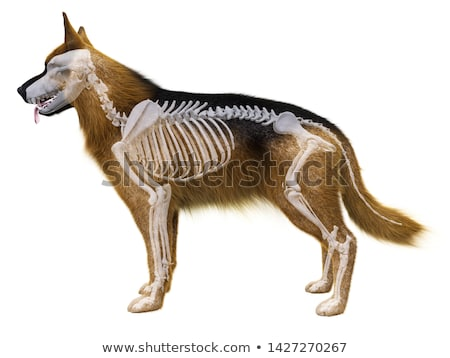 Canis lupus familiaris - skeleton Stock photo © bluering