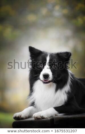 Border collie retrato escuro preto belo amigo Foto stock © vauvau