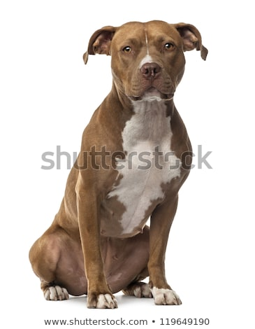 Stock photo: American staffordshire terrier portrait in studio