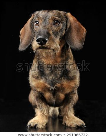 wired hair dachshund standing in dark studio Stock photo © vauvau