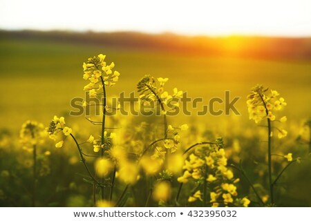 Stock photo: Summer Rape Field